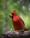 Cardinal With Lunch by Kim Rexroat
